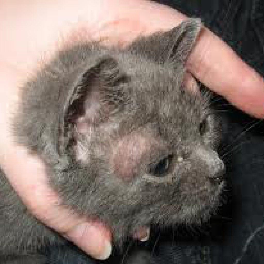 Как лечить лишай у котенка в домашних условиях