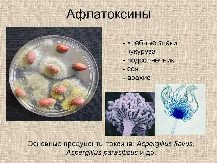 Афлатоксины