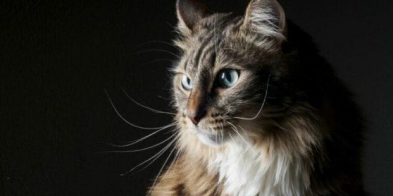 Фибросаркома у кошек