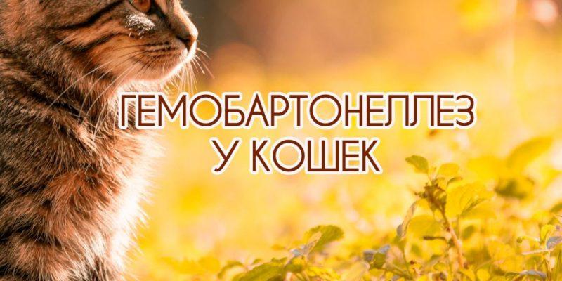 Гемобартонеллез у кошек