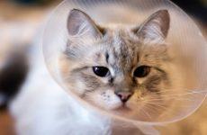 Кошка после стерилизации — как помочь кошке