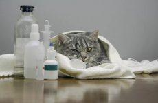 Панкреатит у кошки — симптомы и лечение