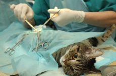 Стерилизация кошек и кастрация котов